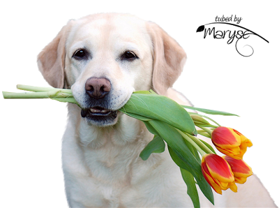 MR_Labrador_tulipes